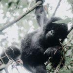gorila de montaña cria bwindi africaatumedida