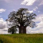 Baobab Tarangire Africaatumedida
