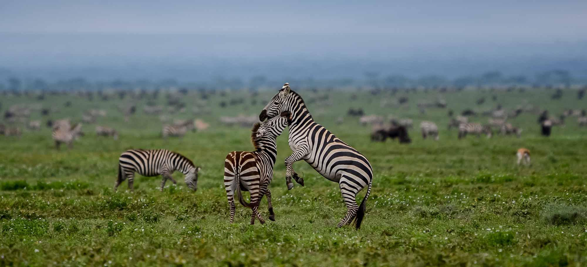 Safari Tanzania Ngorongoro Cebra Agencia de viajes Africaatumedida - 01