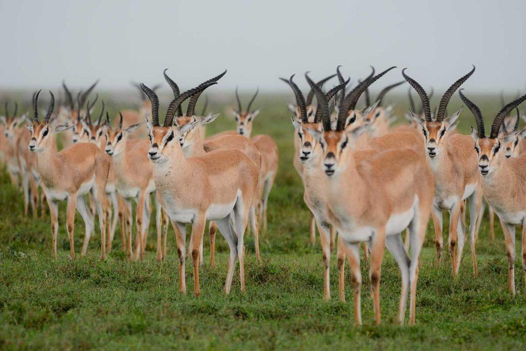Gacela de grant en Serengeti