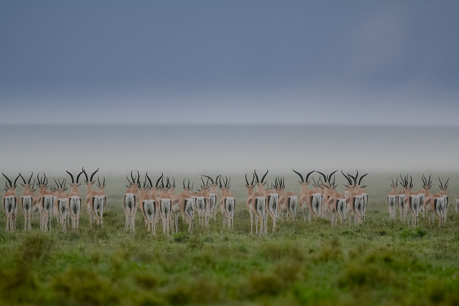safari gran migración