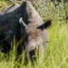 Rinoceronte Negro en un Safari en Africa