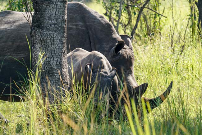 Viaje Uganda - Rinoceronte Blanco Ziwa park