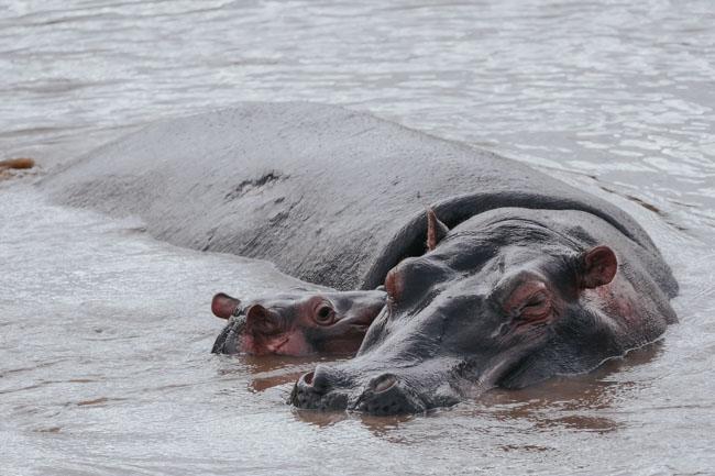 Hipopotamo - Manyara - Africaatumedida