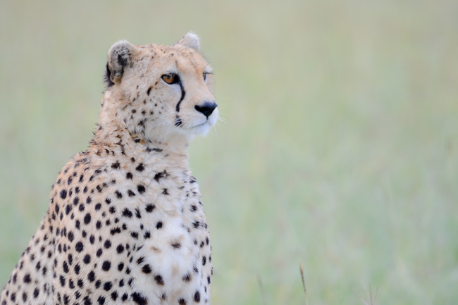 Cheetah - Serengeti - Africaatumedida