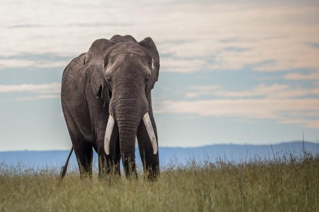 Ngorongoro - Elefante - Africaatumedida