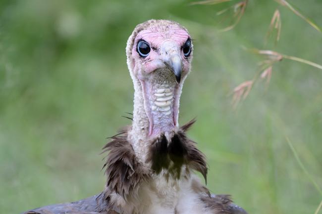 vulture - Serengeti - Africaatumedida