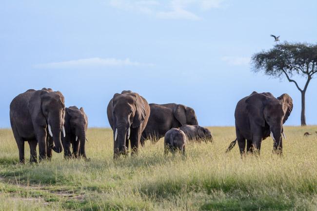 Safari Elefante Africano Tanzania