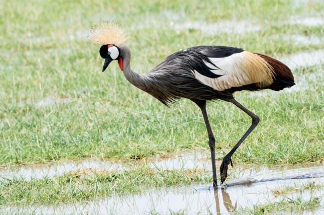 Grulla - Parque Nacional Lago Manyara - Africaatumedida