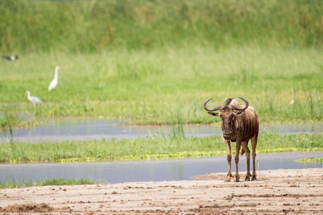 Ñu - Parque Nacional Lago Manyara - Africaatumedida