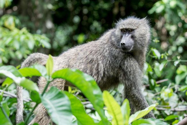 Babuino - Manyara - Africaatumedida
