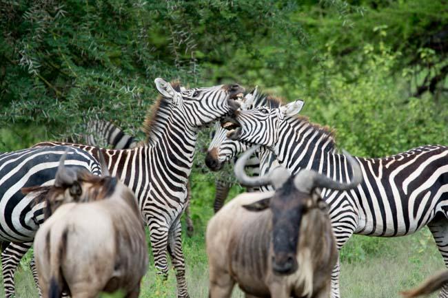 Cebras - Manyara - Africaatumedida