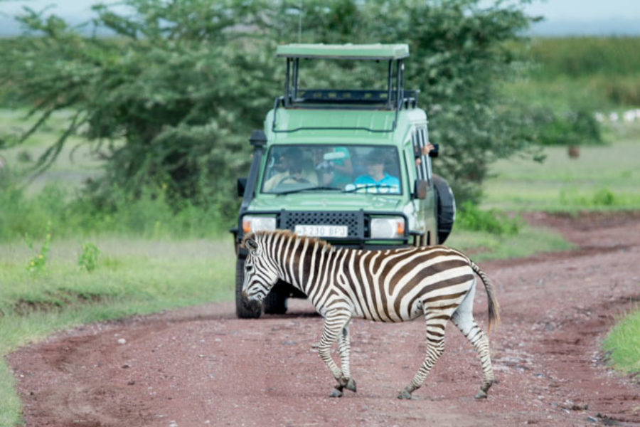 Observación de la cebra de Grant en un Safari en Tanzania