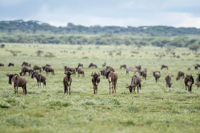 Gran Migracion abril - Ngorongoro - Africaatumedida