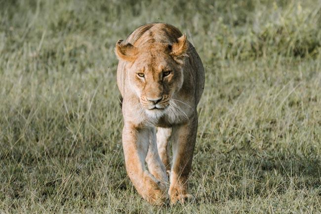 Serengeti Leon - agencia de viajes - Africaatumedida