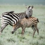 Cebras - Ngorongoro - Africaatumedida