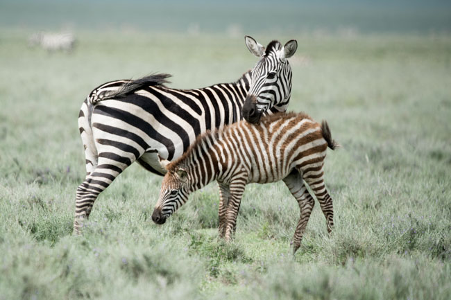 Observación de la cebra de Grevy en un Safari en Africa