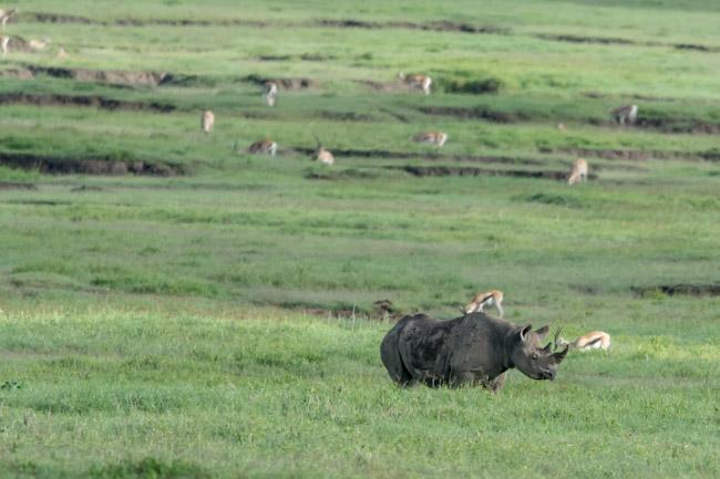 Rinoceronte negro Ngorongoro