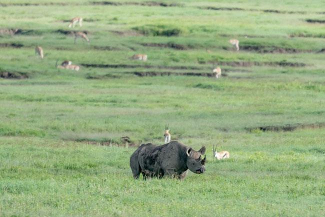 Rinoceronte negro - Ngorongoro - Africaatumedida