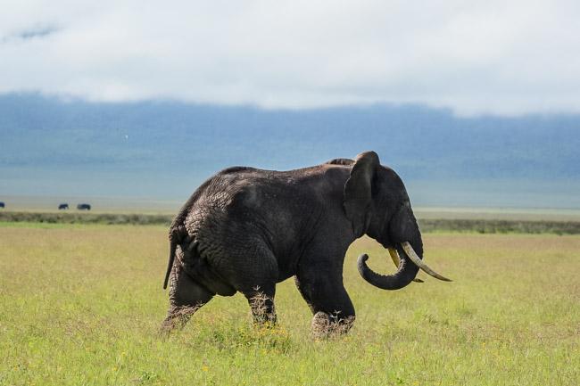 Safari Tanzania Elefante Africano