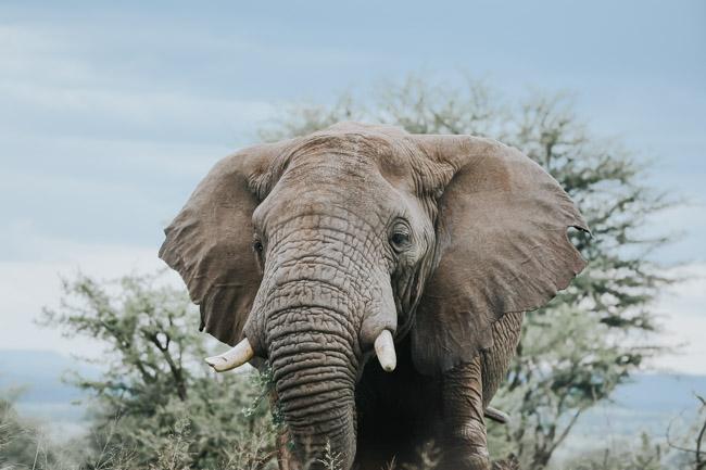 Elefante en Serengeti