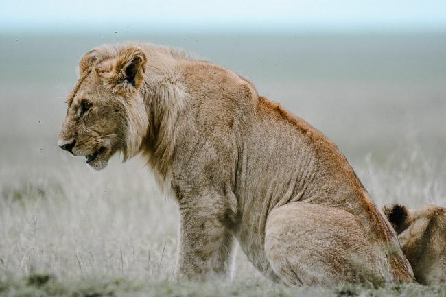 Leon posando - Serengeti - Africaatumedida