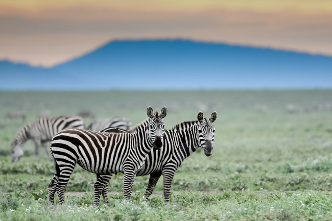 Cebra - Serengeti - Africaatumedida
