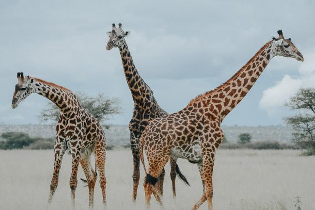 Jirafas - Parque Nacional Tarangire - Africaatumedida