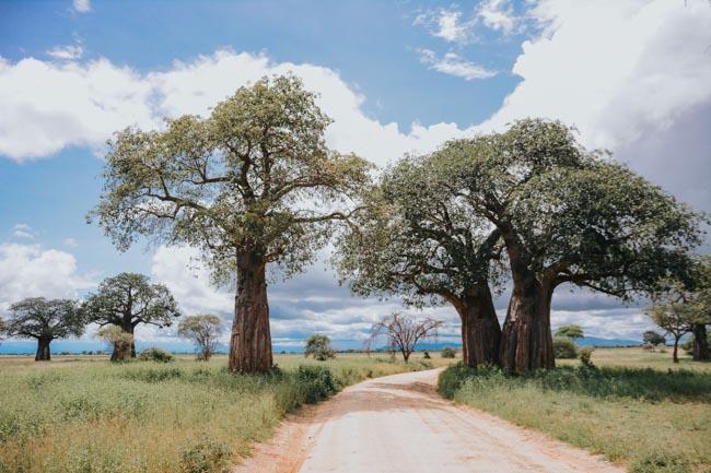 Baobab - Tarangire - Africaatumedida