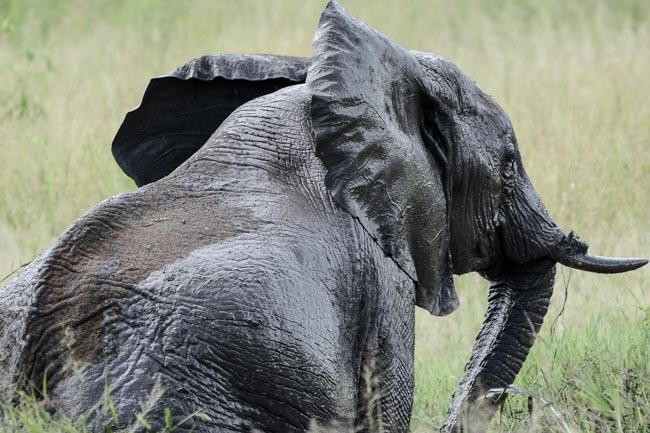 Elefante africano safari tanzania