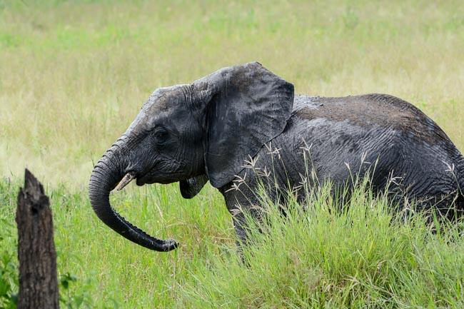 Elefante Parque Nacional Tarangire