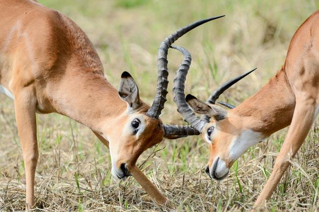Impala Tarangire - agencia de viajes - Africaatumedida