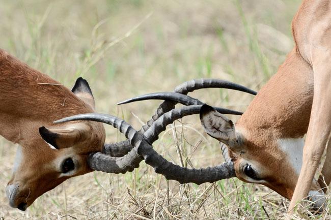 Impala pelea - Parque Nacional Tarangire - Africaatumedida