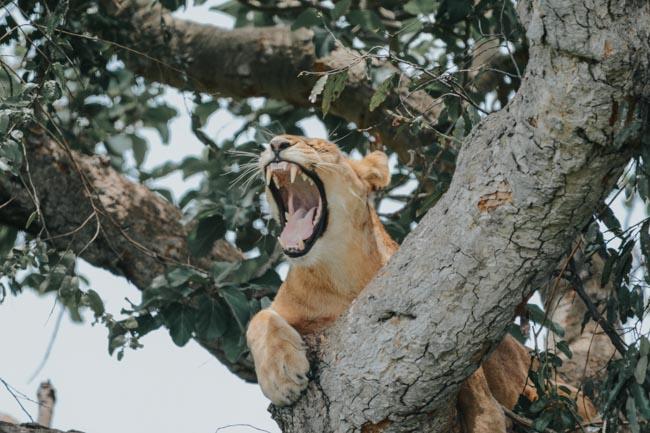 Leones trepadores - Paruqe Nacional del Lago Manyara - Africaatumedida