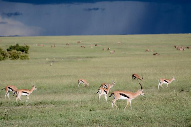 Gacela Thomson - Masai Mara