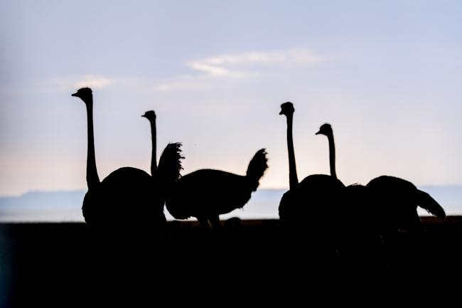 Avestruz en un safari en Kenia