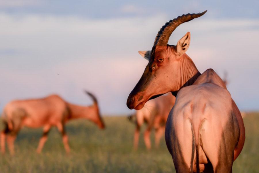 Topi en Tanzania y Uganda