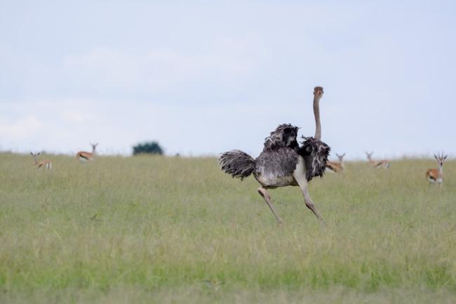 Viaje Africa avestruz