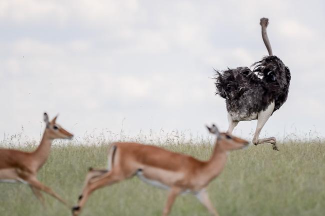 Avestruz en Serengeti