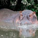 Hipopótamo en Serengeti