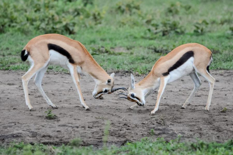 Gacela Thomson en un safari en Tanzania