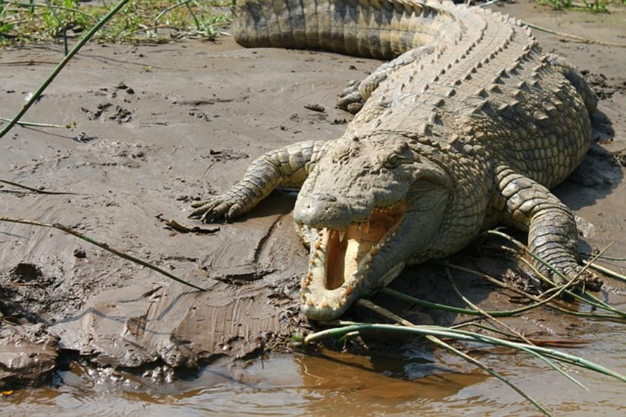 Cocodrilo del Nilo en Tanzania y Uganda