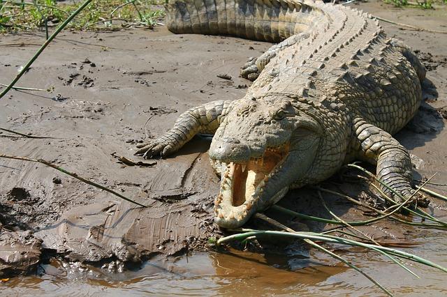 Cocodrilo del Nilo en Masai Mara