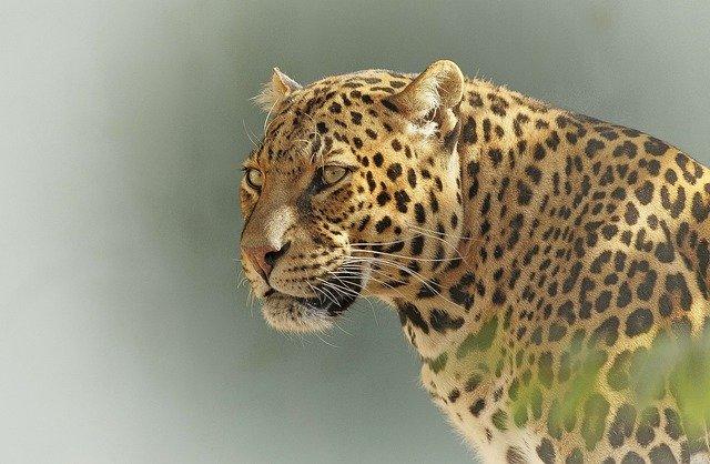 Leopardo en un safari en Tanzania