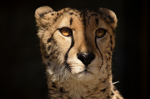 Guepardo en un safari en tanzania
