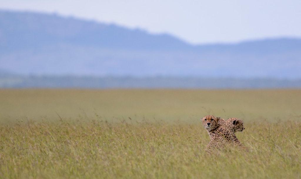 Guepardo en Sáfari Tanzania - Agencia de viajes Africaatumedida - 116