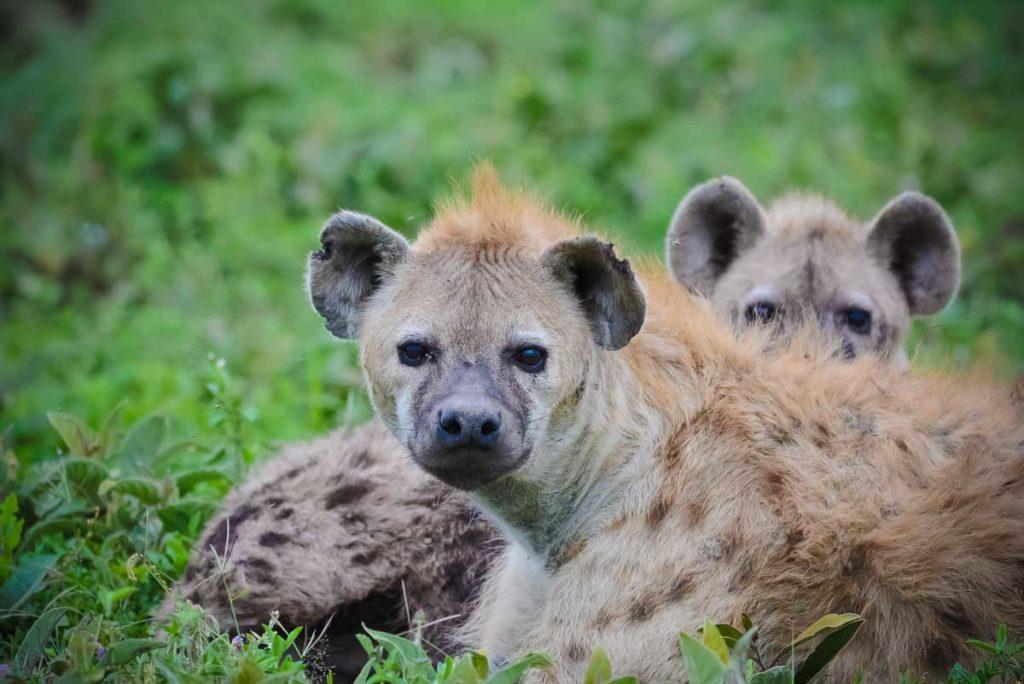 Hiena manchada en Tanzania - Sáfari Tanzania - Agencia de viajes Africaatumedida - 202