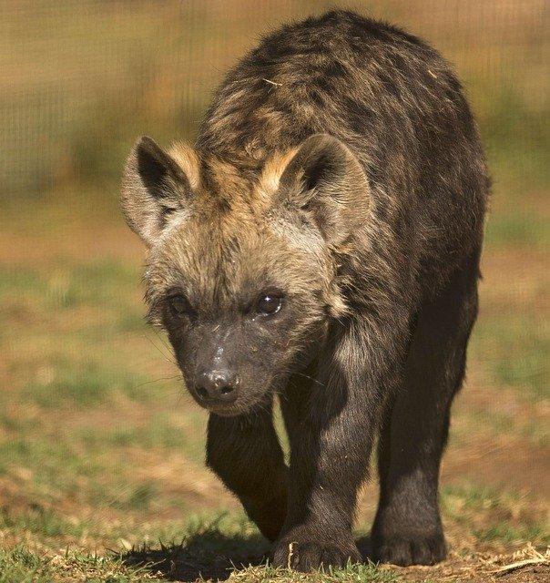 Hiena Manchada en Tanzania