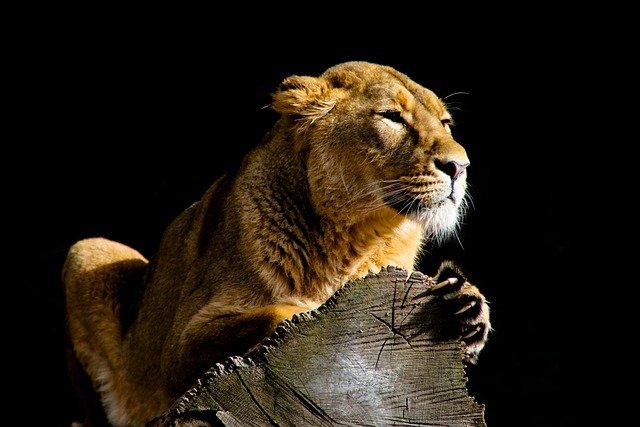Leon en Masai Mara