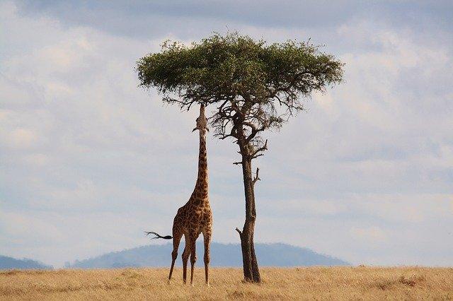 Jirafa en Massai Mara